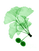 Tree Leaf Posters - An X-ray Of Ginko Leaves Poster by Ted Kinsman