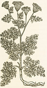Featured Framed Prints - Anethum Graveolens, Dill Framed Print by Science Source