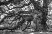 Oak Tree Framed Prints - Angel Oak Tree Charleston SC Framed Print by Dustin K Ryan