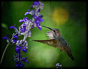 Small Animals Posters - Annas Hummingbird Poster by Saija  Lehtonen