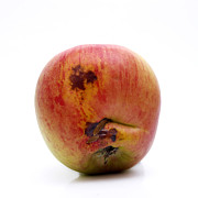 Hymenopteran Insect Art - Apple by Bernard Jaubert