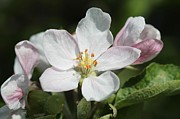 Fruit Tree Art Prints - Apple Blossom Print by J McCombie