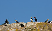 Puffin Metal Prints - Atlantic Puffins in Newfoundland Metal Print by Rosemary Hawkins