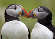 Partnership Posters - 2 Atlantic Puffins Touching Beaks Poster by Jonathan Lewis