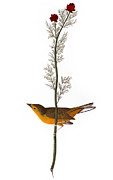 Flycatcher Metal Prints - Audubon: Warbler, (1827) Metal Print by Granger