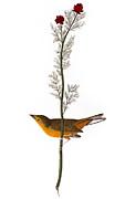 Audubon: Warbler, (1827) Print by Granger