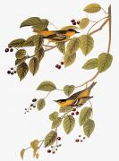 Naturalist Photo Posters - Audubon: Warbler Poster by Granger
