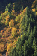 Trees Art - autumn color in Stevens Canyon Mount Rainier National Park WA by Ed Book