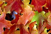 Fallen Leaf Photo Originals - Autumn Leaves by Dmitriy Margolin