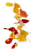 Red Autumn Prints - Autumn leaves Print by Elena Elisseeva