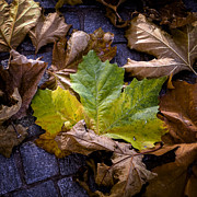 Plane Tree Photos - Autumn Leaves by Joana Kruse