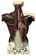 Labeled Prints - Back Muscles Print by Science Source