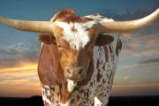 Texas Longhorn Framed Prints - Bad Attitude Framed Print by Robert Anschutz
