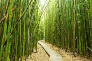 Nature Art Prints - Bamboo Trail Print by Quincy Dein - Printscapes