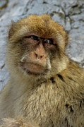 Looking Sideways Prints - Barbary macaque looking away in annoyance Print by Sami Sarkis