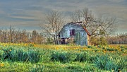 Jonquils Posters - Barn in Field of Flowers Poster by Geary Barr