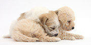 Sleeping Dog Posters - Bichon Frise & Yorkshire Terrier Poster by Mark Taylor