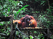 Orangatang Framed Prints - Big Male Of Orangutan Framed Print by Gualtiero Boffi
