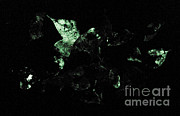 Forest Floor Photos - Bioluminescence by Danté Fenolio