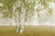 Featured Art - Birch Trees In The Fog Thunder Bay by Susan Dykstra
