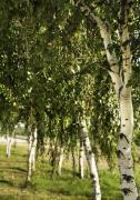 Birchtrees Photos - Birch Trees by Svetlana Sewell