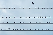 Crow Image Photos - Birds On A Wire by John Greim