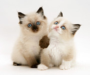 Cats Birman Prints - Birman-cross Kitten Print by Jane Burton