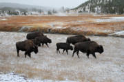 Bison Photos - Bison in Yellowstone National Park by Pierre Leclerc