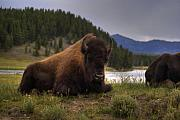 Bison Photos - Bison by Patrick  Flynn