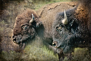 Bulls Metal Prints - Bisons Metal Print by Iris Greenwell