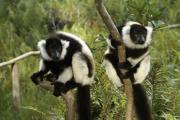 Michele Burgess - Black and White Ruffed Lemur