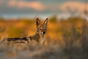 Carnivore Posters - Black-Backed Jackal Poster by Hein Welman
