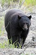 Black Bear Photos - Black Bear at One Mile Lake Pemberton by Pierre Leclerc