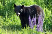 Black Bear Photos - Black Bear in the lupines Whistler Canada by Pierre Leclerc