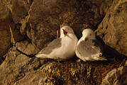 Love The Animal Photo Framed Prints - Black-legged Kittiwake Gulls Nest On An Framed Print by Gordon Wiltsie