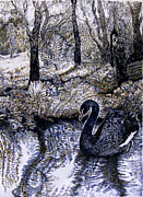 Water Reflections Drawings Framed Prints - Black Swan Gliding no 2 Framed Print by Helen Duley