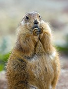 Prairie Dog Posters - Black-tailed Prairie Dog Poster by Bob Gibbons