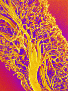 Blood System Prints - Blood Vessels Of A Lymph Node, Sem Print by Susumu Nishinaga