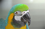 Blue And Yellow Macaw Prints - Blue and Yellow Macaw Print by Debbie Portwood