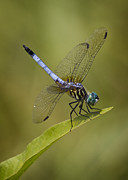 Brian Peterson - Blue Dasher
