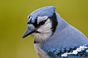 Blue Jay Images Posters - Blue Jay Poster by Michael Cummings
