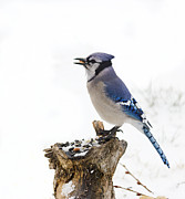Bluejay Metal Prints - Blue Metal Print by Marty Maynard
