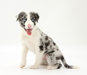 Panting Dog Prints - Blue Merle Border Collie Pup Print by Mark Taylor