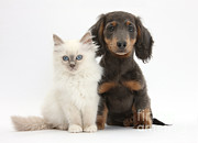 Tan Dog Prints - Blue-point Kitten & Dachshund Print by Mark Taylor