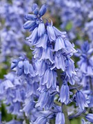 Invasive Species Photo Prints - Bluebells (hyacinthoides Hispanica) Print by Adrian Bicker