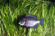 Bluegill Framed Prints - Bluegill Lepomis Macrochirus Framed Print by Ted Kinsman