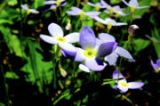 Color Purple Framed Prints - Bluets Framed Print by Thomas R Fletcher