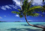 Getaway Posters - Bora Bora, Palm Tree Poster by Ron Dahlquist - Printscapes