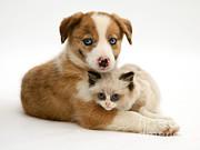Jane Burton - Border Collie And Birman-cross Kitten