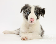 Collie Posters - Border Collie Puppy Poster by Mark Taylor
